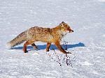 A Fox In Snow Fields