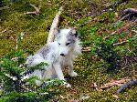 Cute Arctic Fox Cub