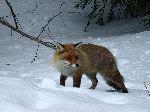 Fox Detecting A Prey