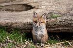Kit Red Fox Peering
