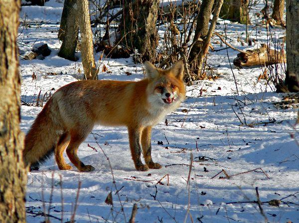 Red Fox In Taiga Biome