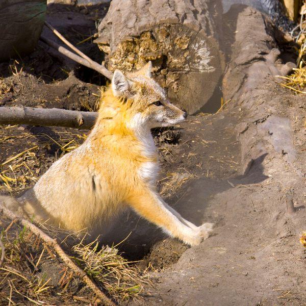 Swift Fox With Yellowish Fur