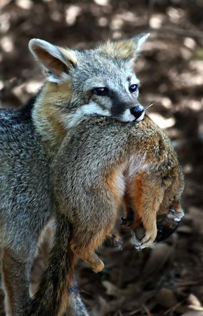 Hábitos alimenticios de los zorros