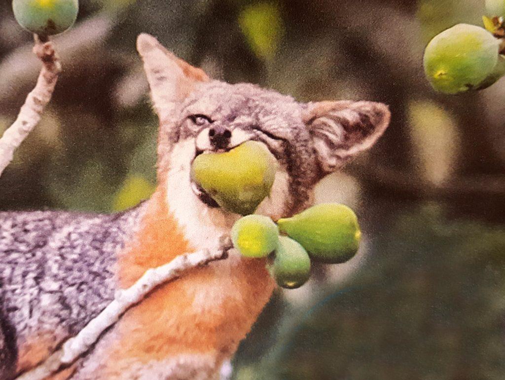 gray-fox-eating-fruit