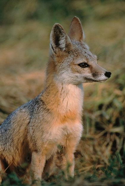 Características del zorro kit