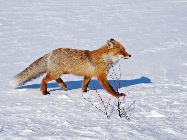 Información sobre el zorro rojo