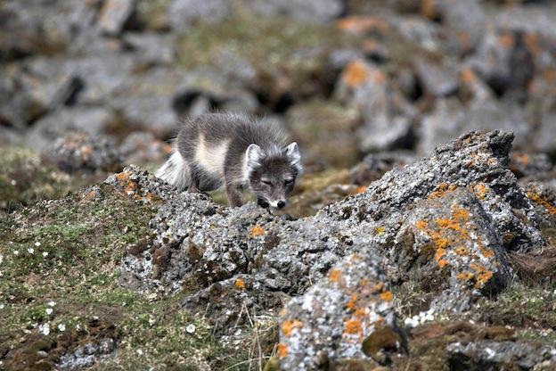 Descripción del zorro polar